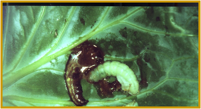 baculovirus infected T.ni larva